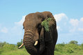 Elephant eating lunch Royalty Free Stock Photo