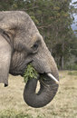 Elephant eating an munches leaves in an sanctuary in south africa Stock Photo