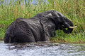 Elephant eating papyrus in river, Botswana Stock Photo