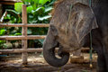 Elephant Eye Close-up Royalty Free Stock Photo