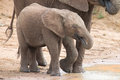 Elephant family drinking water to quench their thirst on very ho a hot day Stock Photography