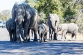 Elephant family in the kruger np south africa Stock Image
