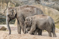 Elephant family of three grey trunk and thick skin Royalty Free Stock Photo