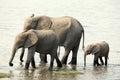 Elephant family walking along the river Royalty Free Stock Photo