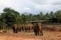 Elephant family walking in their natural habitat Royalty Free Stock Photo