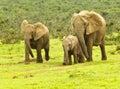 Elephant family walking towards a waterhole Royalty Free Stock Photo