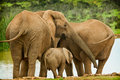 Elephant family at a water hole Stock Images