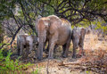 Elephant family in wildlife south africa Stock Image