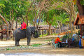Elephant and farmer is eating grass while is on the rest on the s farm in thailand Stock Photography