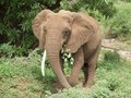 Elephant at feed frontal in tanzania africa Stock Images