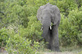 Elephant feeding in the bushes front view Royalty Free Stock Photography