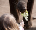 Elephant feeding child hand and trunk with salad closeup view Royalty Free Stock Photography