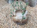 Elephant foot plant pachypodium saundersii Royalty Free Stock Photo