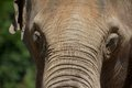 Elephant Forehead Portrait Stock Photography