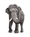 Elephant front view with clipping path included Royalty Free Stock Images