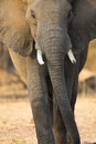 Elephant gait front view portrait of an african bull Royalty Free Stock Photos