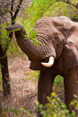 Elephant grasping a tree in the bush of africa Stock Photos