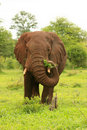 Elephant with grass Royalty Free Stock Photography