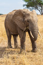 Elephant grazing Royalty Free Stock Images