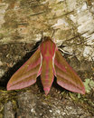 Elephant Hawk Moth Royalty Free Stock Images