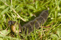 Elephant hawk moth caterpillar in grass Stock Photo
