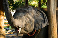 Elephant head close up of asian thailand Royalty Free Stock Image