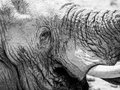 Elephant head detailed view of Royalty Free Stock Photo