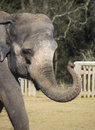 Elephant head and trunk walking showing just his Royalty Free Stock Image