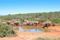 Elephant herd of drinking at a waterhole Stock Image