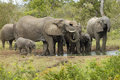 Elephant herd family drinking at waterhole timbavati south africa Stock Images