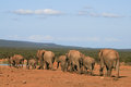 Elephant herd trekking line of elephants in a family group to a waterhole in addo national pafrk Stock Images