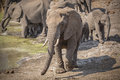 Elephant herd at the waterhole in kruger national park Stock Photography