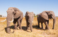 Elephant herd wild african in the wilderness Stock Photo