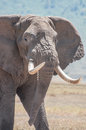 Elephant with huge tusks just walking in plane sight over the grasslands of the ngorongoro crater in tanzania Royalty Free Stock Photo