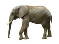 Elephant isolated walking white isloted side view Stock Image