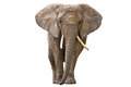 Elephant isolated on white Royalty Free Stock Photo