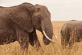 Elephant in Kenya Stock Image
