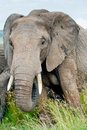 An elephant, Kenya Stock Photography