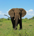 Elephant at Kruger National Park South Africa Royalty Free Stock Photo