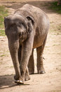 Elephant is a large mammal Royalty Free Stock Photography