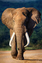 Elephant with large teeth approaching addo national park Royalty Free Stock Images
