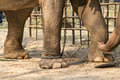 Elephant with legs in a chains Royalty Free Stock Photo