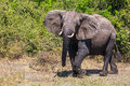 Elephant - loner in Chobe National Park Royalty Free Stock Photo