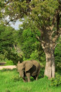 Elephant looking for shade Royalty Free Stock Photography