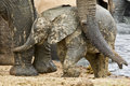 Elephant love young calf enjoying some affection from its mother Stock Photo