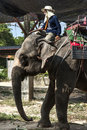 An elephant and a mahout trainer was driving the go ahead Stock Photography