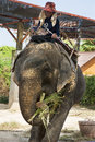 An elephant and a mahout was eating walking in the zoo his trainer sitting its back Royalty Free Stock Images