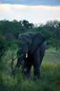 Elephant in moremi nature reserve botswana Stock Photos