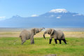 Elephant with mount kilimanjaro in the background Royalty Free Stock Images