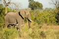 Elephant on the move african moving through bush Royalty Free Stock Photos